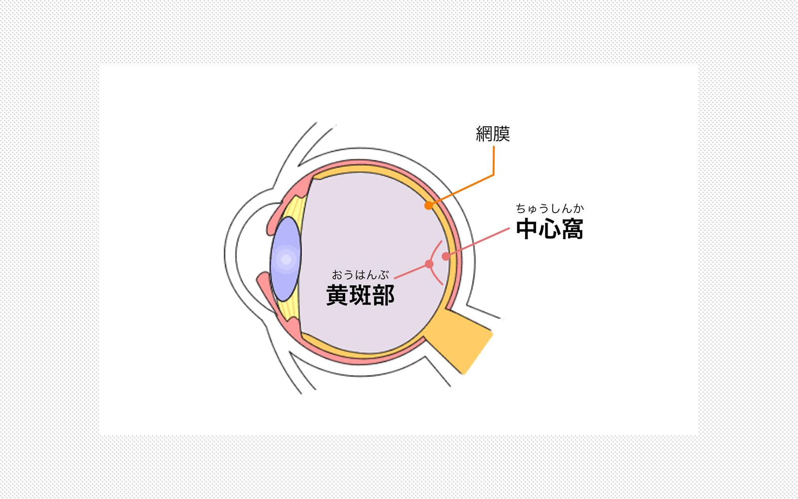 視覚生理学から考えるデザイン 中心視と周辺視