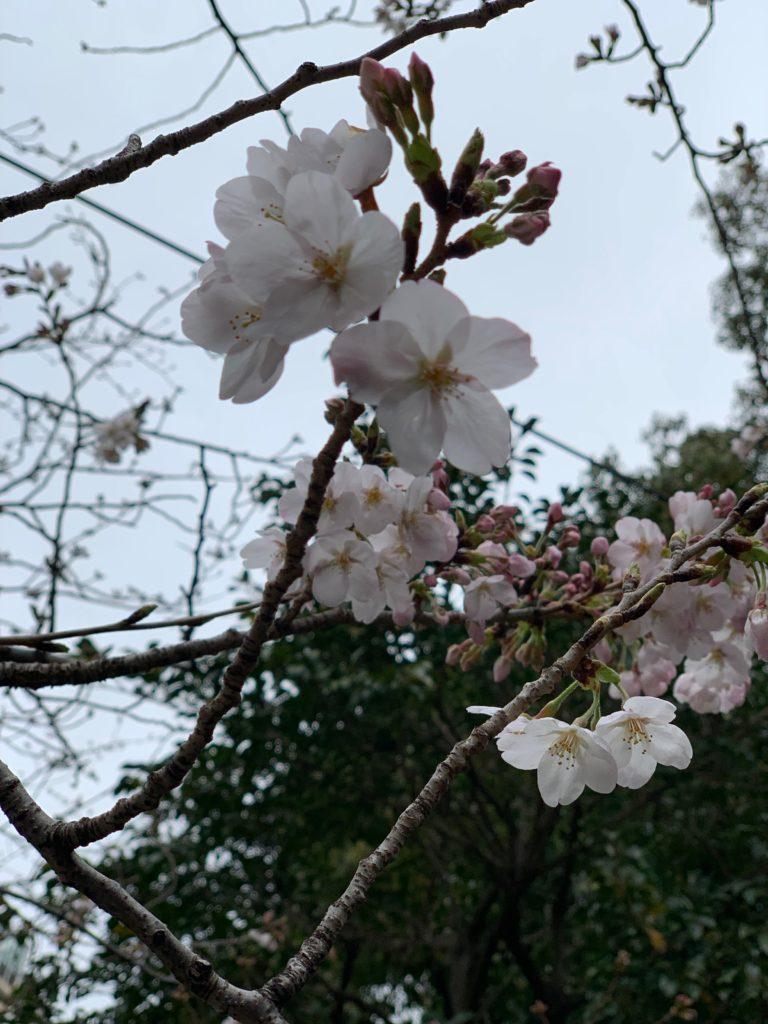 加工補正前の桜の写真